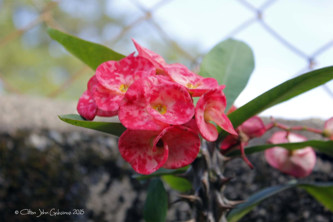 Blog creative clif for Crown of thorns plant
